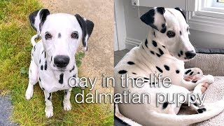day in the life of a dalmatian puppy!