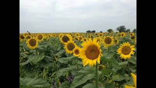 How To Play Marco Polo In Giant Sunflowers