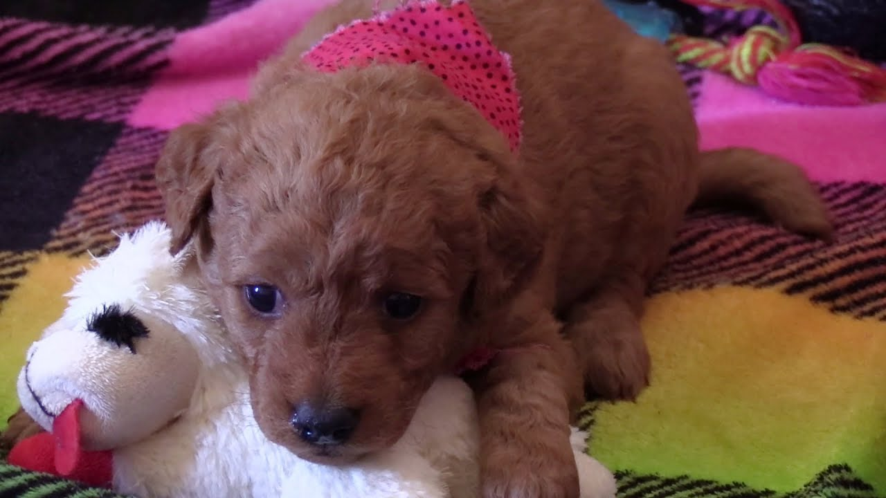 Lacey's F2b Mini Goldendoodle Puppies on 5/17/2018