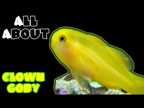 All About The Yellow Clown Goby
