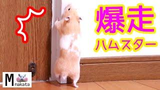 ハムスターって散歩でどんだけ走り回るんだっ!可愛い癒しおもしろVideo that shows how much a hamster runs around on a walk
