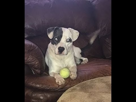 Pit Bull Terrier mix