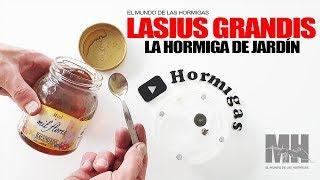 Gambar cover HORMIGAS DE JARDÍN - Lasius grandis y su hormiguero