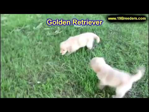 golden-retriever,-puppies,-for,-sale,-in,-gillette,-wyoming,-wy,-rock-spriings,-sheridan