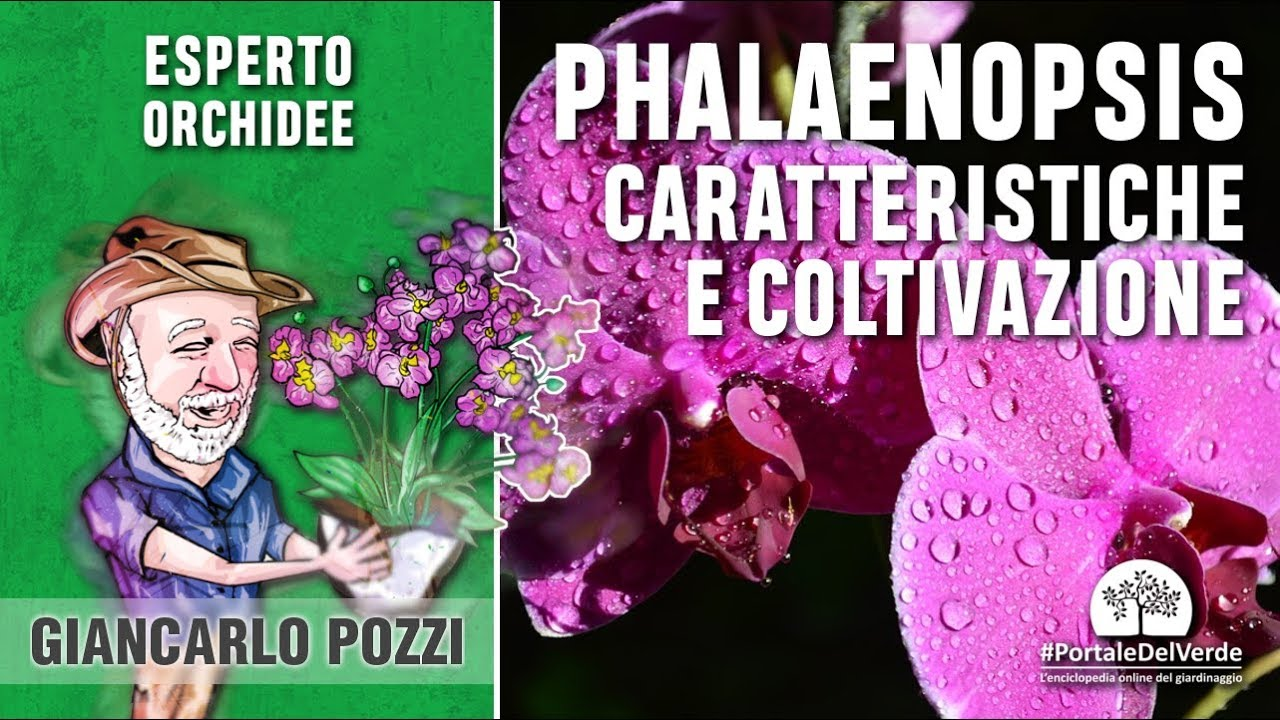 Come Coltivare Orchidee Phalaenopsis: 8 Passaggi