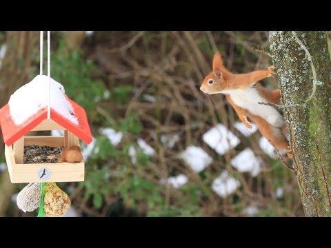 Eichhörnchen kommt nicht an die Nuss