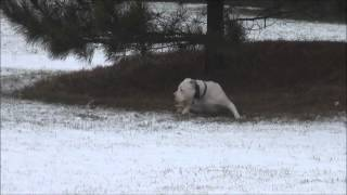 Echo (american Bulldog) Boot Camp Level Iii Dog Training Demonstration