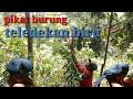 Pikat Burung Teledekan Biru Di Hutan  Mp3 - Mp4 Download