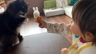娘からの好意のパンケーキを拒否する猫 ラガマフィン A cat that refuses the pancakes given by her daughter