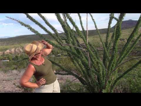 Medicinal Minute: Beautiful Ocotillo (Fouquiera splendens