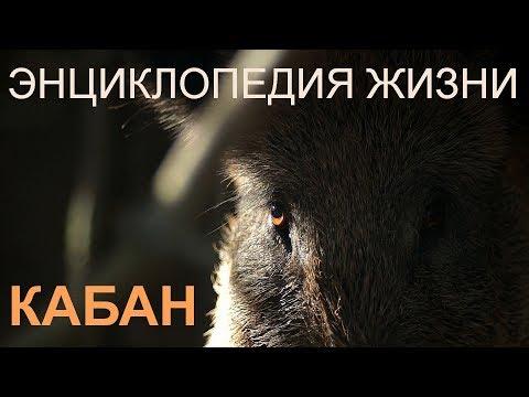 Кабан. Энциклопедия жизни. Wild Boar. Encyclopedia Of Life.