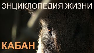 кабан. Энциклопедия жизни. Wild boar. Encyclopedia of Life.  Film Studio Aves