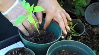 Jalapeno Plant:  Transplanting