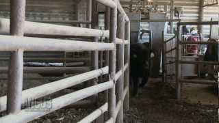 The Angus Report, Feb. 11, 2013: Around The Angus World