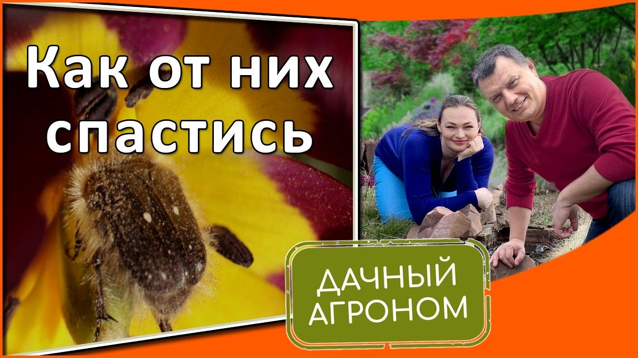 Как избавиться от аленки мохнатой и майского жука