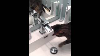 Milo the cat turns on water tap