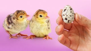 Download EXPERIMENT: Hatching Eggs from a Grocery Store (Part II) Mp3 and Videos