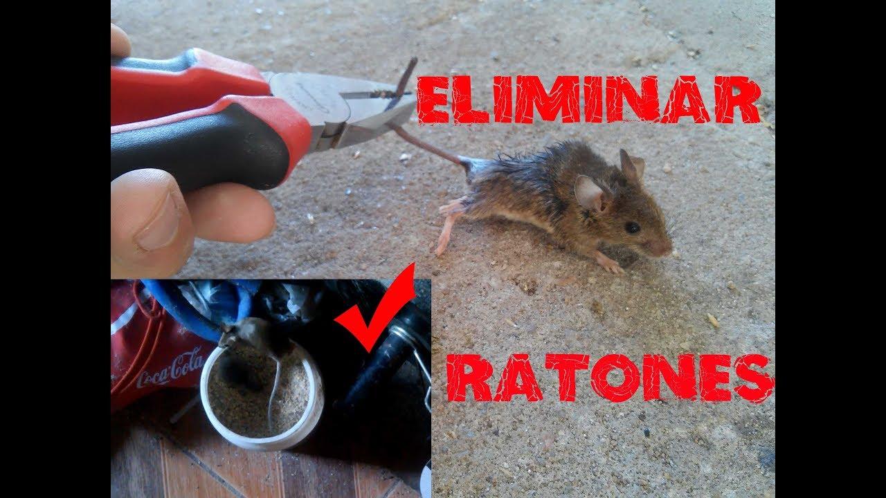 Como atrapar ratones muy facil eliminar ratones en casa youtube - Ratones en casa ...
