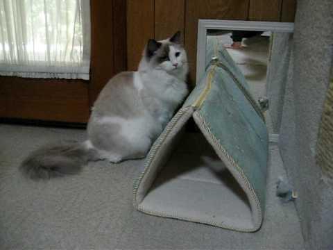 Blue Bicolor Ragdoll Cat  - Callie 10.5 months