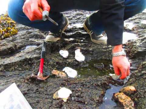 Harvesting Oysters In Canada