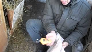 ФЛАНДР - ВЕЛИКАН(фландер - это красавец обалденный здоровый ,и темпераментный!!! возраст 8 мес.-вес 6.7 кг. в 7 месяцев весил..., 2015-01-05T10:51:31.000Z)