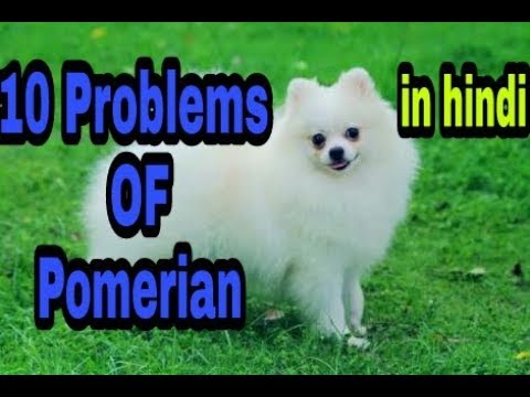 10 Problems OF Pomerian in hindi || problems of dogs ||