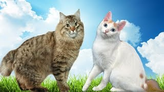 American Bobtail vs Japanese Bobtail Cat  What's the Difference?