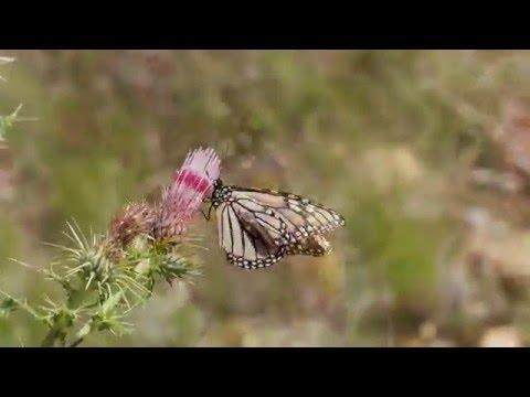 Video những con bướm hút nhụy hoa
