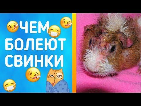 Болеют ли морские свинки