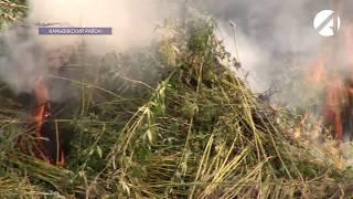 В Астраханской области активно сжигают коноплю