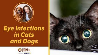 Eye Infections in Cats & Dogs thumbnail