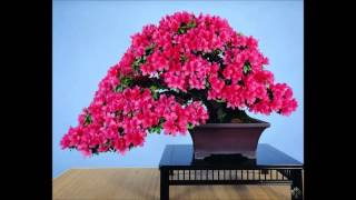 Truly beautiful flowering bonsai trees