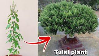 10 important points जल्दी बढ़ेगी तुलसी ऐसे लगाएं, Tulsi plant care with red Water