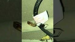 Black Widow Arizona captures roach