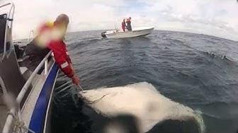 Kveite 220 cm ruijanpallas hälleflundra Catch and release iso kala