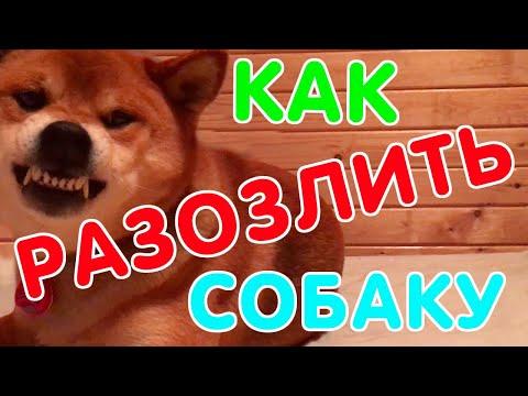 Как разозлить собаку