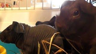 Guinea pigs смешные МОРСКИЕ СВИНКИ. Животные дома - скинни. Содержание морских свинок.
