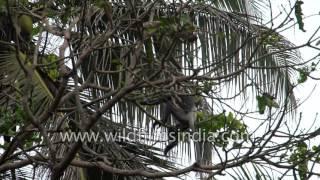 Repeat youtube video Purple faced Langur or Leaf Monkey in Sri Lanka