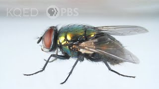 Heres How That Annoying Fly Dodges Your Swatter | Deep Look