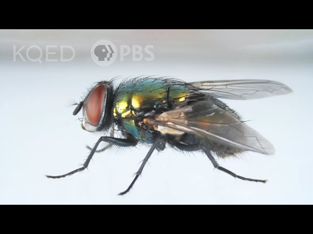 Here's How That Annoying Fly Dodges Your Swatter | Deep Look