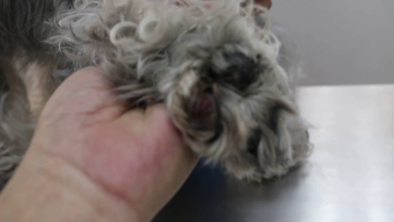 Pictures Of Ingrown Hair On Dogs