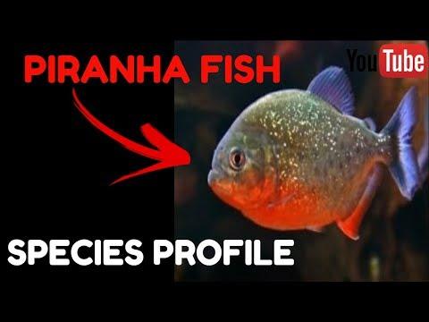 Piranha Fish Care Guide