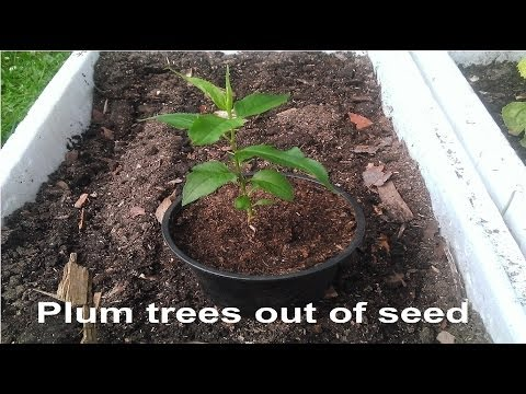 Easy Way To Grow Plum Trees Out Of Seed, (Also Works With Peaches, Nectarines And Apricots)