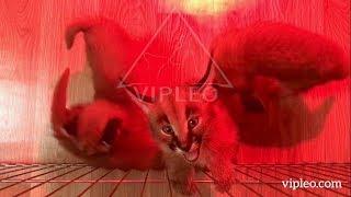 Котята каракал питомника VIPLEO®. Caracal kitten cattery.