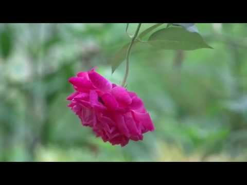 Red Rose flower , Beautiful Natural red rose flower , YouTube