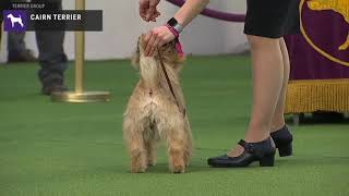 Cairn Terriers | Breed Judging 2020