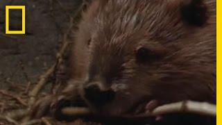 Beaver Genius | National Geographic