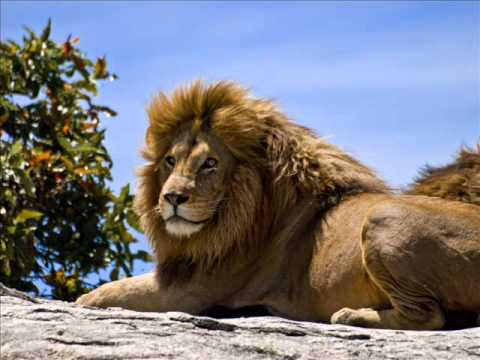 Lion sound effects - YouTube - photo#36