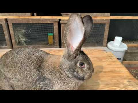 Миксоматоз у кроликов, вакцинация кроликов