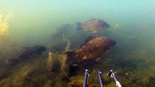 Подводная охота #1 в балтийском море морской карась